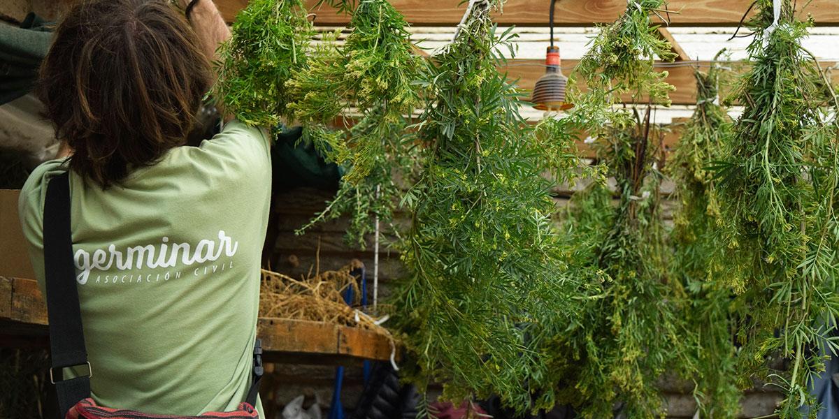 Dulce revolución plantas medicinales